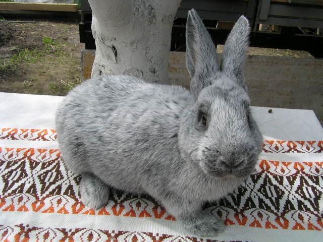 Европейское серебро кролик