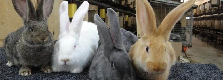 Как правильно подобрать породу кролика?
