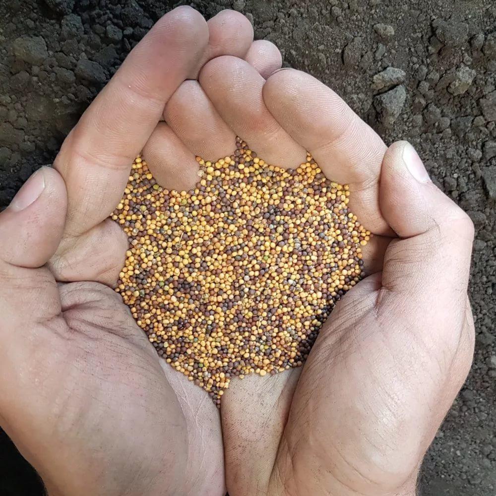 Как выбрать семена рапса?