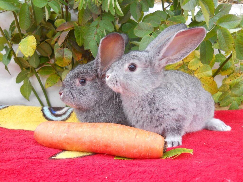 Кормление кроликов породы серый великан