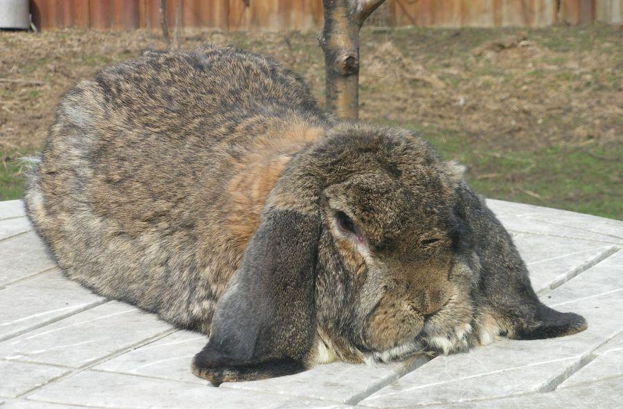 Кролики породы Немецкий баран