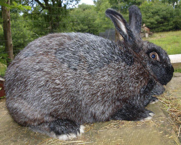 Особенности крупных видов кроликов