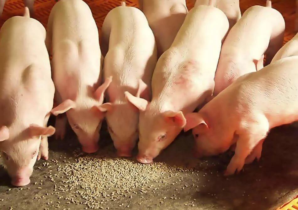 Особенности выращивания мясных поросят