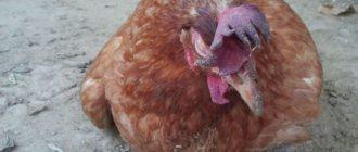 Особенности заболевания у взрослых кур
