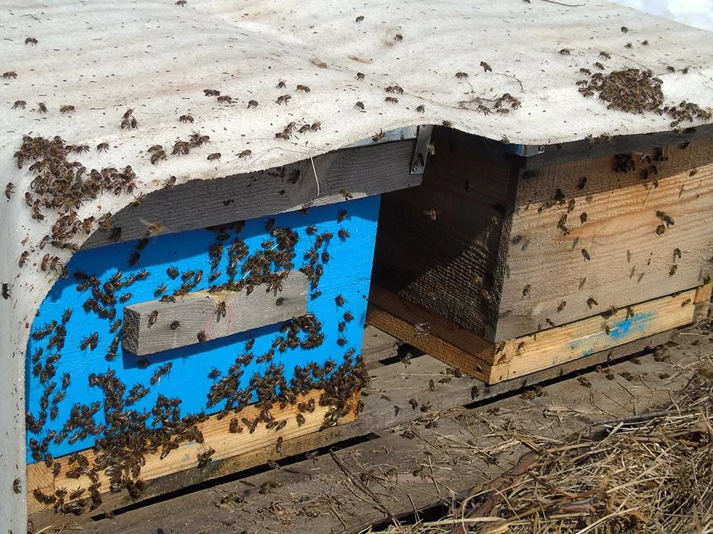 Сверхранние облеты пчел
