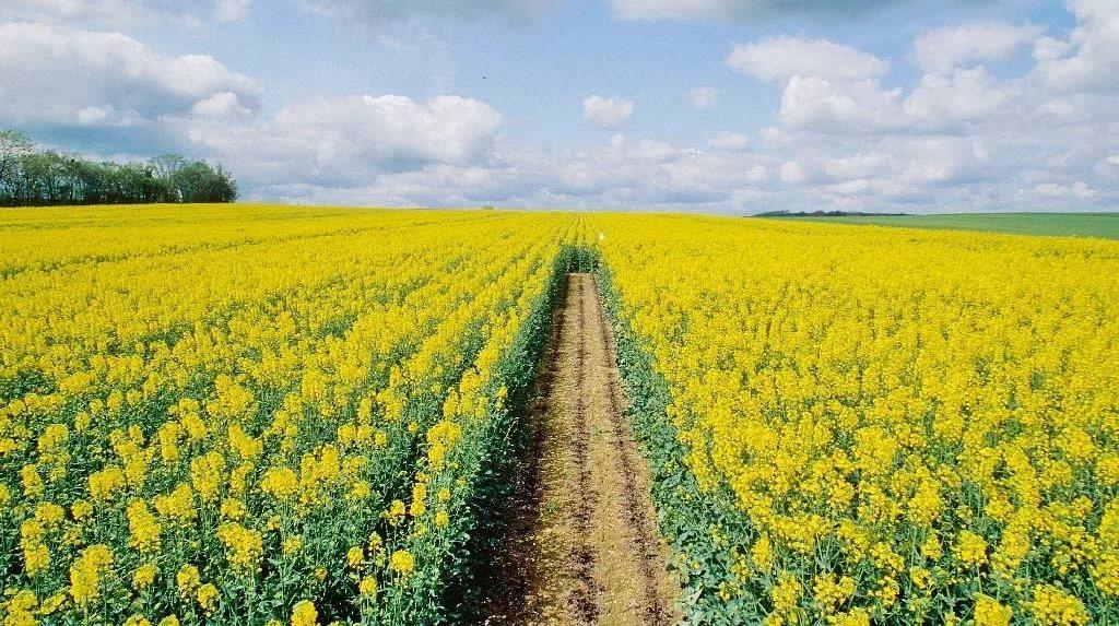 Технология возделывания ярового рапса на семена
