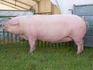 Особенности мясных свиней