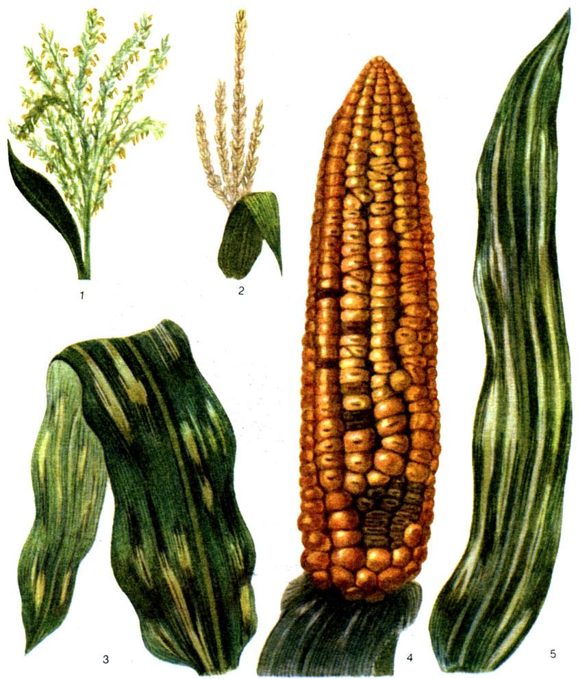Гельминтоспориоз кукурузы