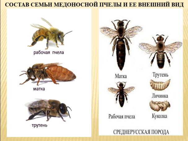 Как определить породу и вид пчел