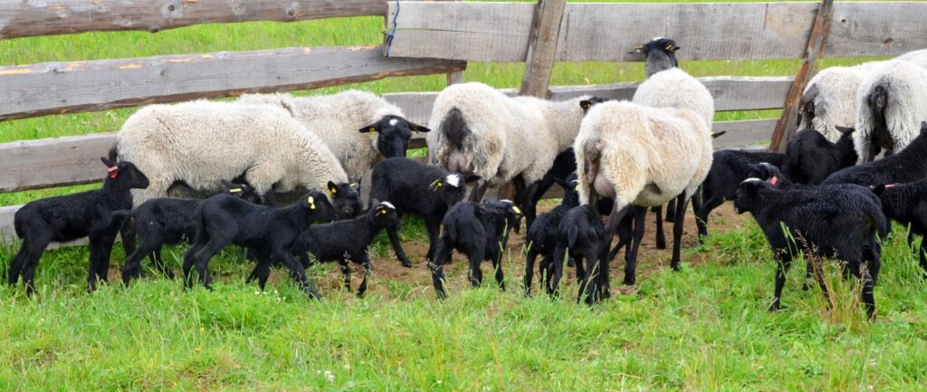 Какая продуктивность овец романовской породы?
