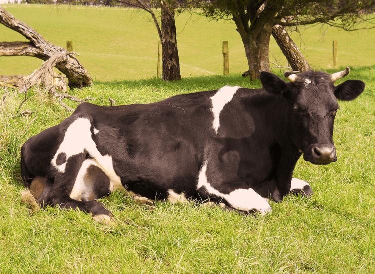 Кетоз у коров: симптомы и лечение