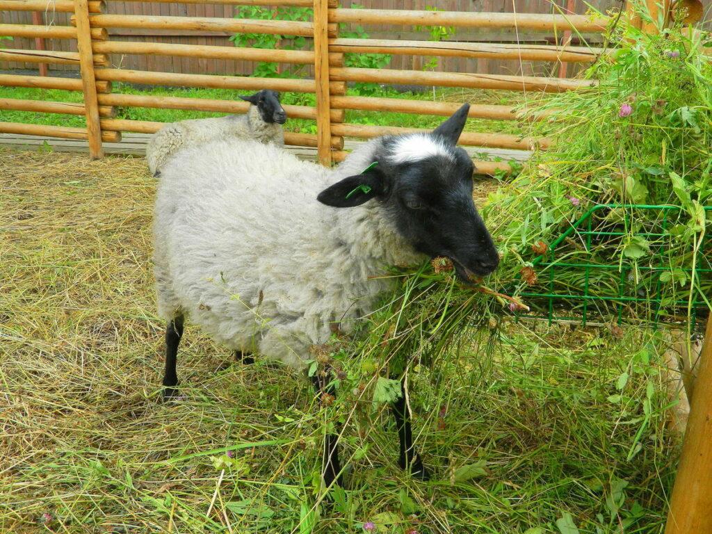 Кормление романовской овцы