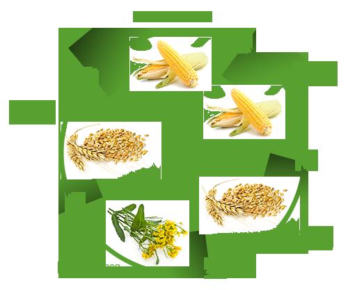 Место кукурузы в севообороте