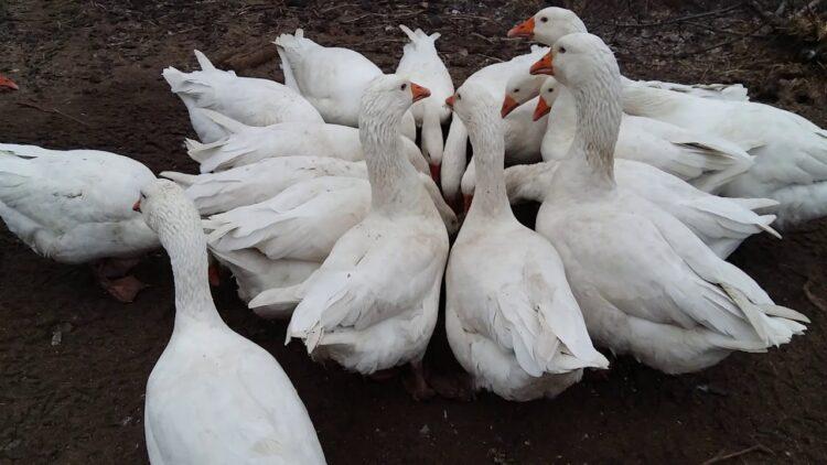 Порода гусей Датский Легарт