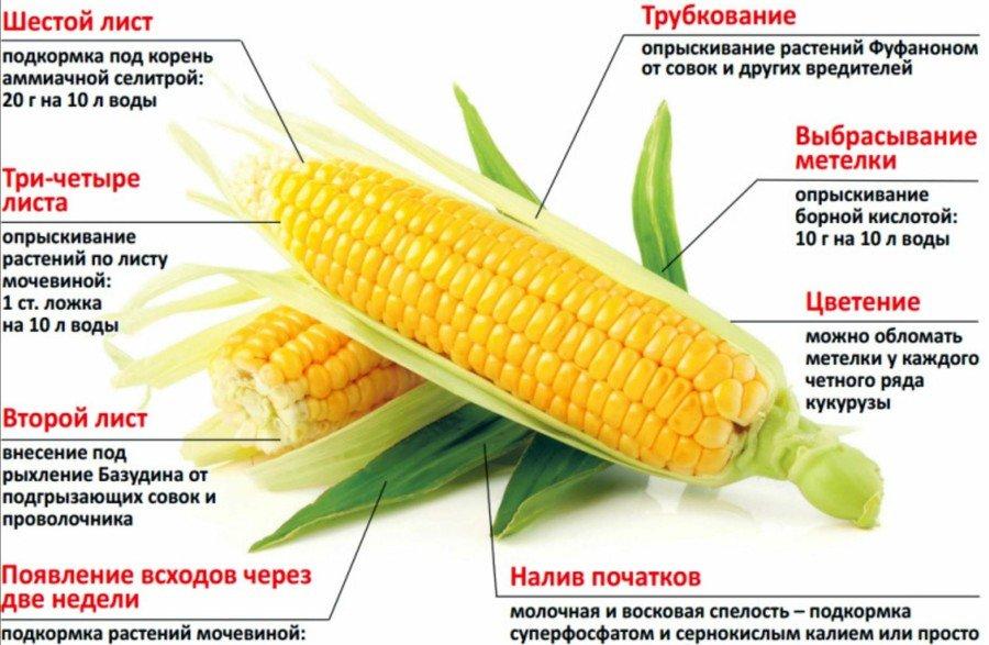 Правильное удобрение кукурузы
