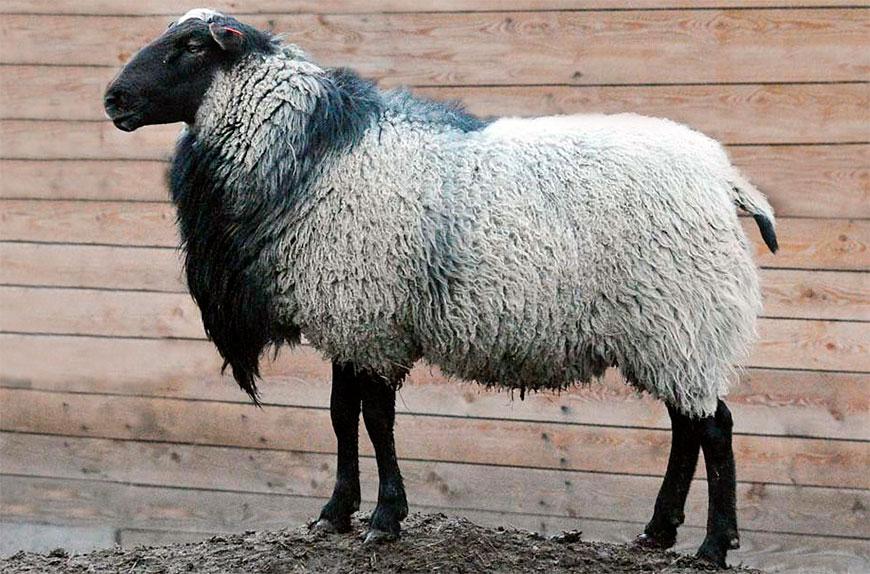 Причины популярности романовской породы овец