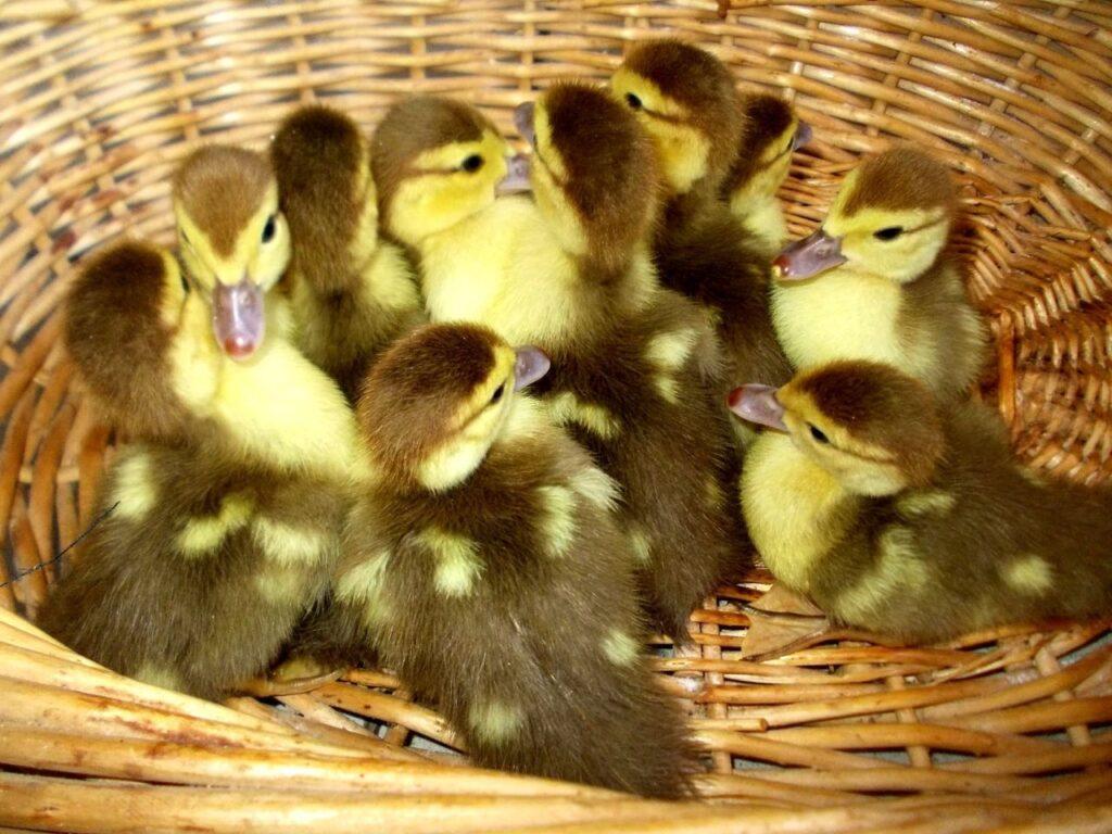Продажа птенцов индоуток