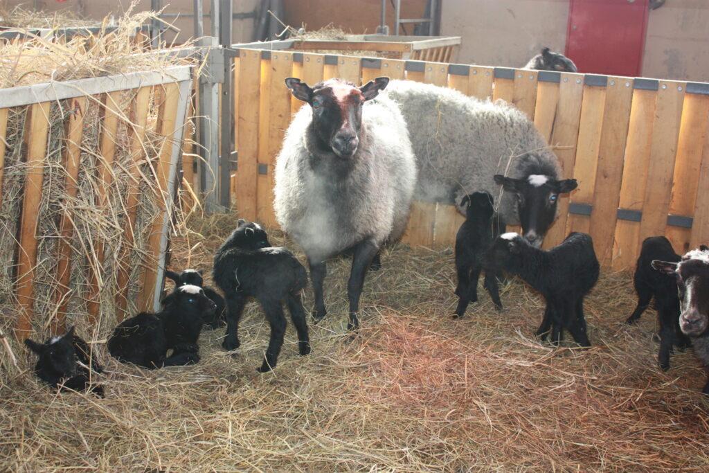Размножение и выращивание потомства романовских овец