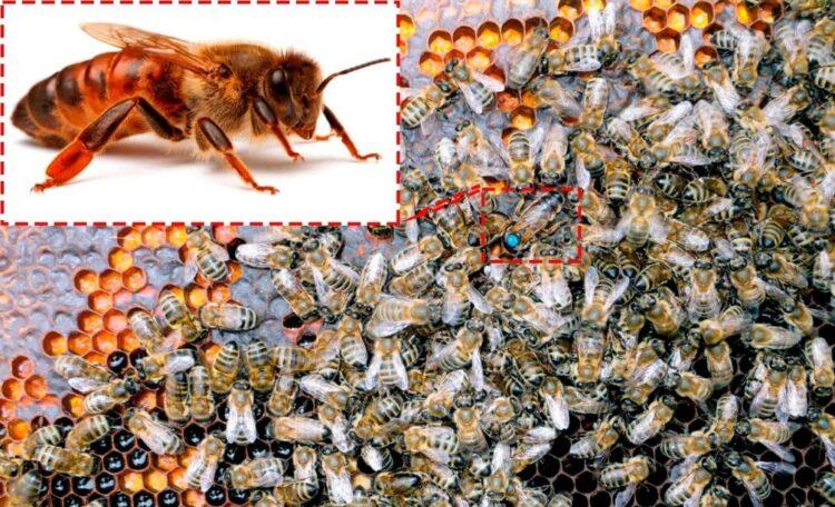 Самые популярные породы пчел. Описание с фото