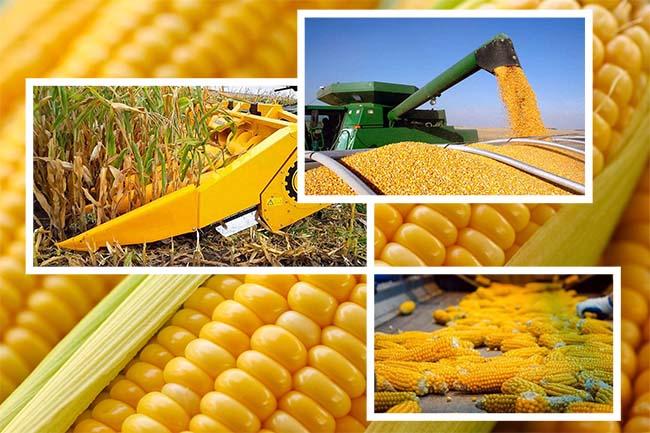 Технология сева кукурузы на зерно