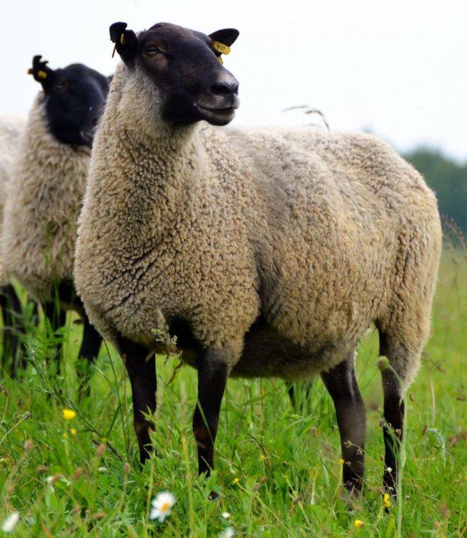 Внешний вид романовской породы овец
