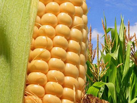 Выращивание кукурузы на зерно. Особенности технологии