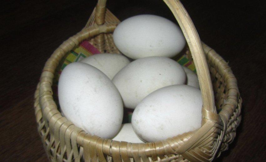 Яйценоскость и мясная продуктивность породы Датский Легарт