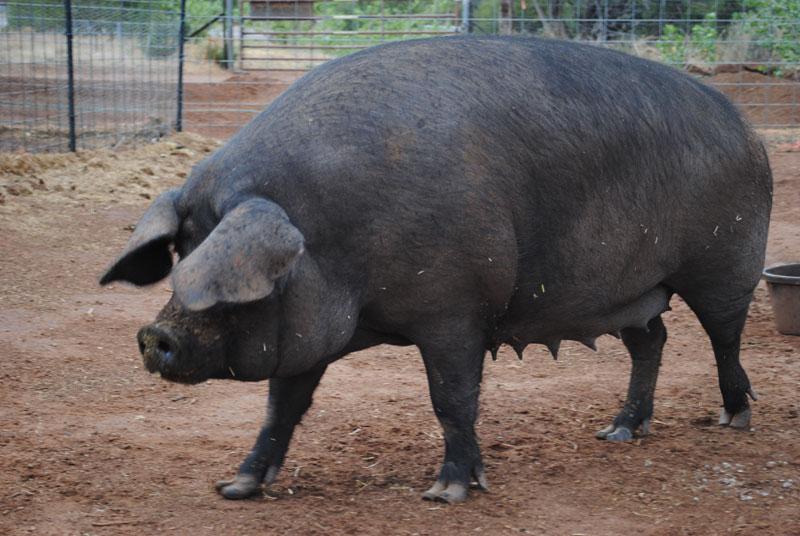 Крупная черная порода свиней