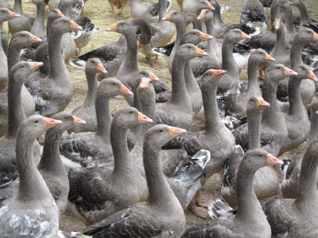 Правильное разведение Крупных серых гусей