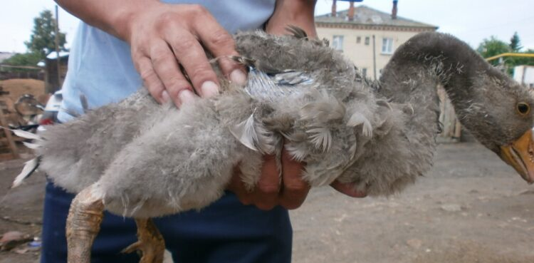 Заболевания гусей
