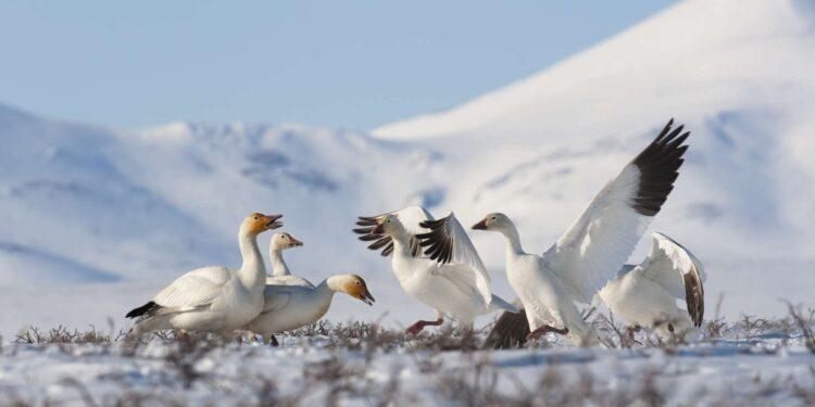 Белый гусь североамериканской тундры