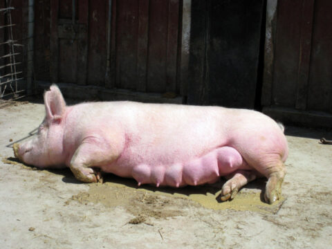 Как проходит осеменение свиней?