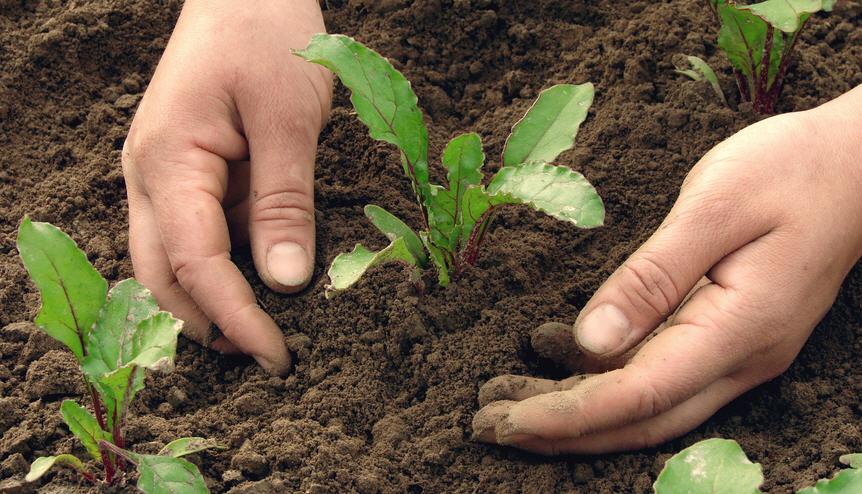 Почва для посева свеклы