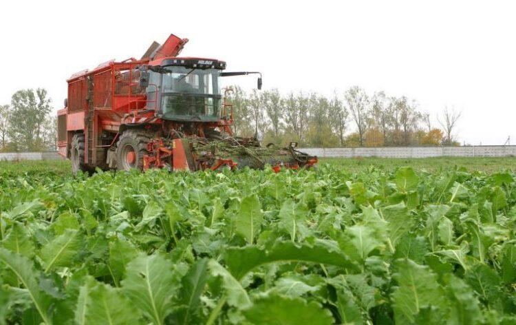 Сахарная свекла: технология выращивания