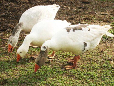Эффективный откорм мясных кур и гусей
