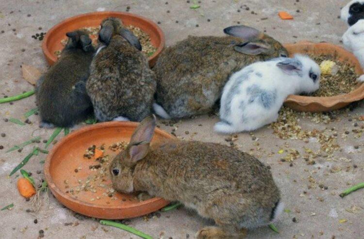 Важные правила при кормлении кроликов