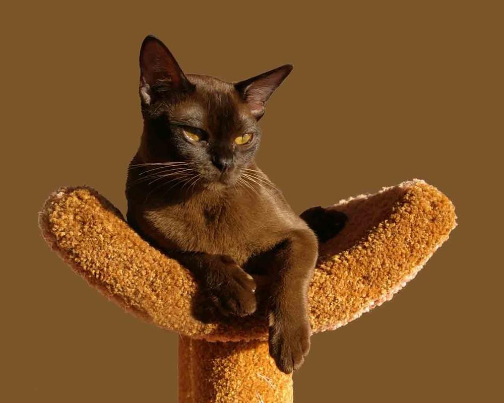 Бурманская кошка уход