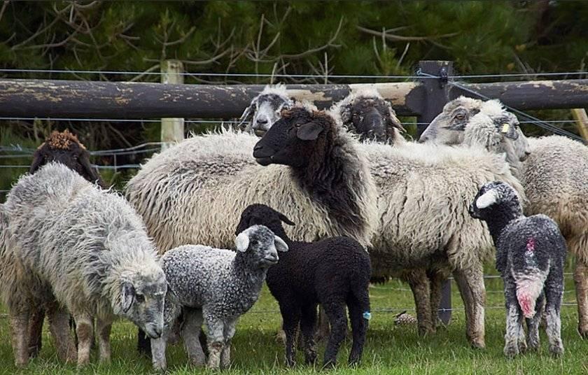 Где разводят Каракульских овец