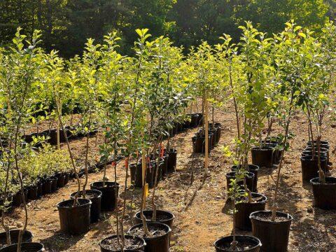 Как сажать фруктовые деревья?