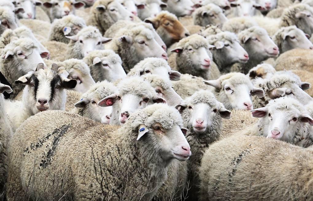 Оказание помощи овцам