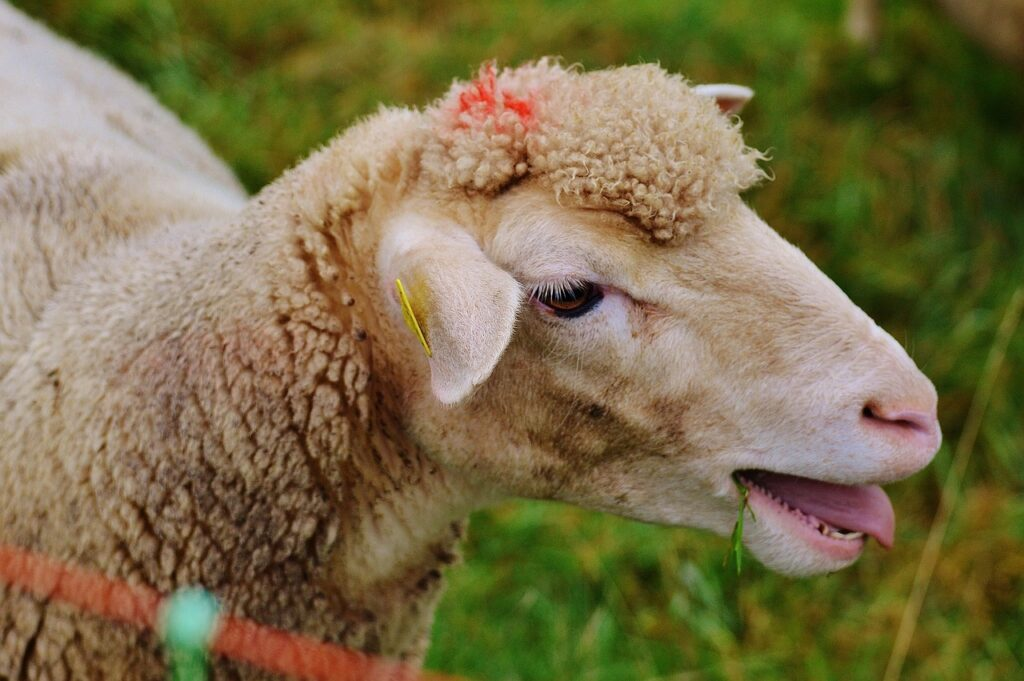Перегрев овец